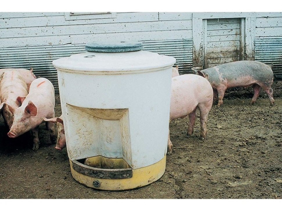 Utility Hog Waterer in a feedlot with pigs